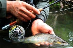 Truite de l'huisne poisson sauvage