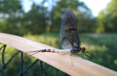 Insecte épuisette moulin de gémages