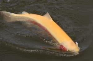 Poisson gold nage dans le parcours