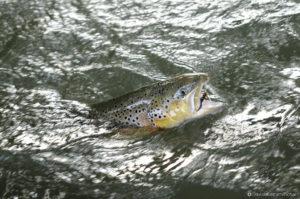 Gobage poisson sauvage